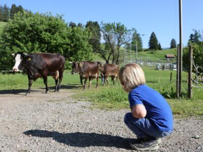 Die Kühe kommen