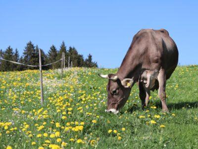 Kuh in Löwenzahnwiese